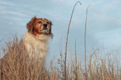 Red collie type dog in ammophila marram grass at b Stock Image