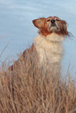 Red collie type dog in ammophila marram grass at b Stock Photos