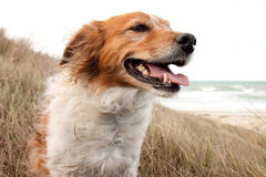 Red collie type dog in ammophila marram grass at b Stock Photo