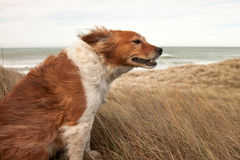 Red collie type dog in ammophila marram grass at b. A horizontal format image of a fluffy red collie-type sheep dog sitting among ammophila marram grass on a Stock Images