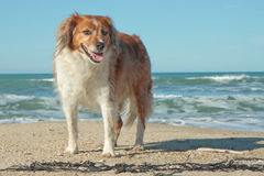 Red collie type dog standing on sand at a surf bea Stock Photography