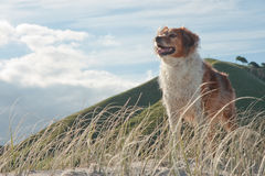 Red collie type farm sheep dog standing on sand du Stock Photo