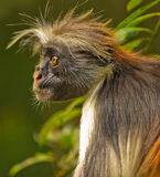 Red Colobus´pungent stare Stock Images