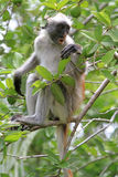Red colobus - endemic of Zanzibar Royalty Free Stock Image