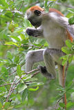 Red colobus - endemic of Zanzibar Stock Images