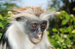 Red colobus monkey Royalty Free Stock Photography