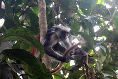 Red colobus monkey Stock Photos