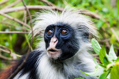 Red Colobus Monkey. Red colobuses are Old World monkeys of the subgenus Piliocolobus in genus Procolobus. Some authors elevate Piliocolobus to a full genus Stock Image