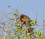 Red Colobus monkey asleep in tree Stock Photography