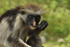 Red colobus monkey eats a piece of charcoal Royalty Free Stock Images