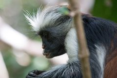 Red colobus monkey gazing into his hands stock photos