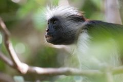 Red colobus monkey gazing up into the forest stock photography