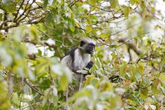 Red colobus monkey in Jozani Forest, Zanzibar, Tanzania Stock Images