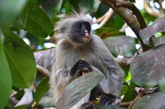 Red colobus monkey in Jozani NP, Zanzibar Royalty Free Stock Images