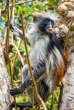 Red Colobus Monkey in tree (2). Red colobuses are Old World monkeys of the subgenus Piliocolobus in genus Procolobus. Some authors elevate Piliocolobus to a full Stock Photography