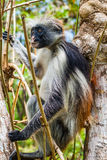 Red Colobus Monkey in tree. Red colobuses are Old World monkeys of the subgenus Piliocolobus in genus Procolobus. Some authors elevate Piliocolobus to a full Royalty Free Stock Photos