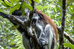 Red Colobus monkey , Zanzibar. Adult female with kid Zanzibar Red Colobus monkeys boast an outstanding cover of thick black and reddish fur and amazing long royalty free stock image