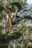 Red Colobus monkey , Zanzibar. Adult male Zanzibar Red Colobus monkeys boast an outstanding cover of thick black and reddish fur and amazing long white hair on Royalty Free Stock Photo