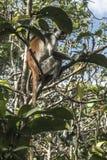 Red Colobus monkey , Zanzibar Royalty Free Stock Photo