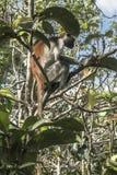Red Colobus monkey , Zanzibar Royalty Free Stock Image