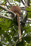 Red Colobus monkey , Zanzibar. Adult male Zanzibar Red Colobus monkeys boast an outstanding cover of thick black and reddish fur and amazing long white hair on Royalty Free Stock Images