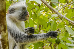 Red Colobus monkey , Zanzibar. Adult male Zanzibar Red Colobus monkeys boast an outstanding cover of thick black and reddish fur and amazing long white hair on royalty free stock image