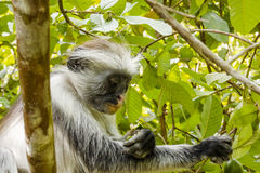 Red Colobus monkey , Zanzibar. Adult male Zanzibar Red Colobus monkeys boast an outstanding cover of thick black and reddish fur and amazing long white hair on royalty free stock photography