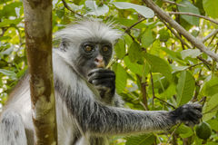 Red Colobus monkey , Zanzibar. Adult male Zanzibar Red Colobus monkeys boast an outstanding cover of thick black and reddish fur and amazing long white hair on stock photos