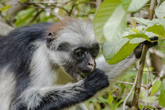 Red Colobus monkey , Zanzibar. Adult male Zanzibar Red Colobus monkeys boast an outstanding cover of thick black and reddish fur and amazing long white hair on Stock Image