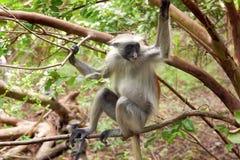Red colobus (Piliocolobus kirki) monkey. On the branch Stock Photos