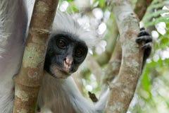 Red colobus (Piliocolobus kirki) monkey. Closeup Stock Images