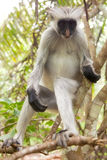 Red colobus (Piliocolobus kirki) monkey Royalty Free Stock Image