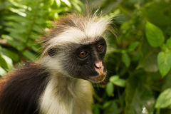 Red colobus portrait Royalty Free Stock Photography