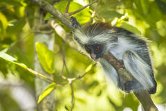 Red Colobuse Monkey Royalty Free Stock Photo