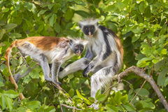 Red Colobuse Monkey. Two red Colobuse Monkey in a rainforest of Jozani Chwaka Bay National Park, Zanzibar, Tanzania, Africa Stock Photography