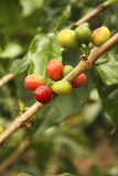Red colombian coffee bean . Royalty Free Stock Photo
