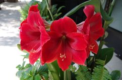 Red color beautiful flower stock image