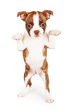 Red Color Boston Terrier Puppy Begging Stock Image