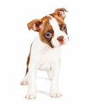 Red Color Boston Terrier Puppy Tilting Head Royalty Free Stock Photography