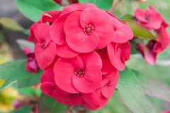 Red color Crown Of Thorns Royalty Free Stock Photography