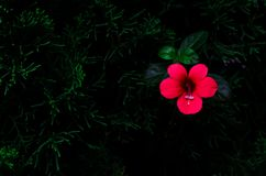 Red color flower Coral creeper Barleria repens that growing up on pine tree isolated on dark green background with space for stock photography