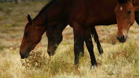 Red color Horses graze grass in the evening sun rays stock video footage