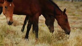 Red color Horses graze grass in the evening sun rays stock footage