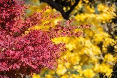 Red color of leaf with blur of yellow ginko. stock photo