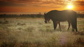 Red color Mare with young Foal graze grass in the evening sun rays stock video