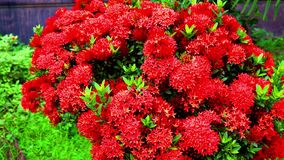 Red color natural flower with green leaf. Close up colorful flower video. Amazing natural beauty flower full hd video. Red color natural flower with green leaf stock video