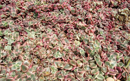 Red color petal succulent plants Stock Photography