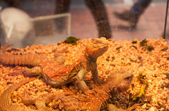Red color reptiles in a box of pet shop. Red color lizard reptiles in glass box of pet shop in Hong Kong Stock Image