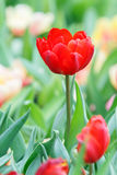 Red color tulip flower Royalty Free Stock Photography