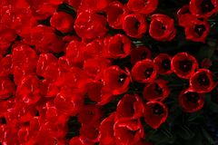 Red color tulip flowers in the garden. Red color tulip flowers bloom in the garden stock photo